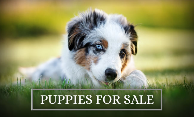 Lake Creek Aussies Puppies For Sale